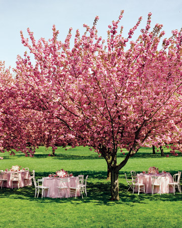 Cherry_Blossoms_outdoors